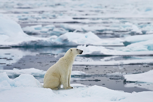 BEA 06 KH0023 01 © Kimball Stock Polar Bear Sitting On Sea Ice By Water