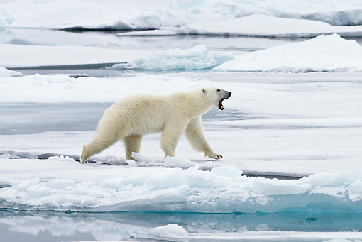BEA 06 KH0024 01 © Kimball Stock Polar Bear Walking On Sea Ice And Yawning By Water