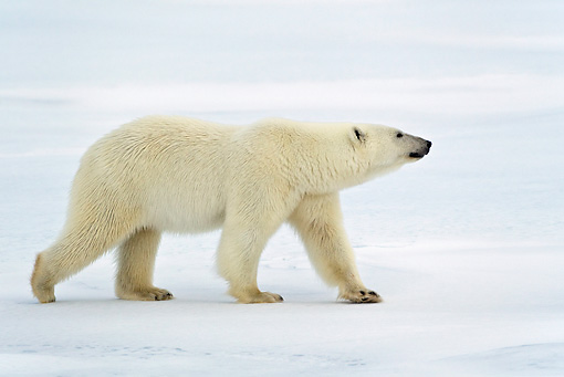 BEA 06 KH0025 01 © Kimball Stock Polar Bear Walking On Ice Profile
