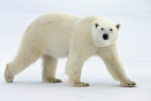 BEA 06 KH0026 01 © Kimball Stock Polar Bear Walking On Ice Profile