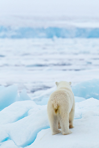 BEA 06 KH0028 01 © Kimball Stock Back View Of Polar Bear Standing On Ice Svalbard