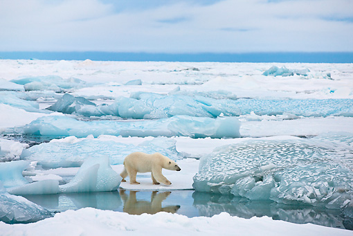 BEA 06 KH0029 01 © Kimball Stock Polar Bear Walking On Ice Svalbard