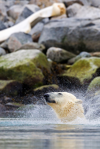 BEA 06 KH0040 01 © Kimball Stock Polar Bear Snorting After Diving Into Sea Svalbard