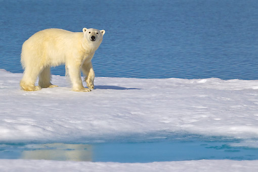 BEA 06 KH0042 01 © Kimball Stock Polar Bear Standing On Sea Ice Svalbard