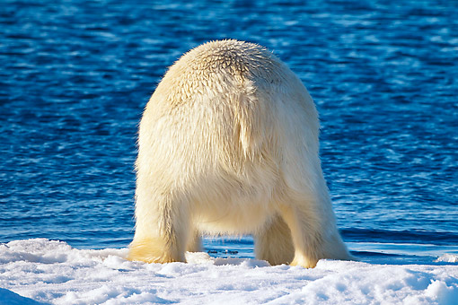 BEA 06 KH0043 01 © Kimball Stock Back View Of Polar Bear Diving Into Sea Svalbard