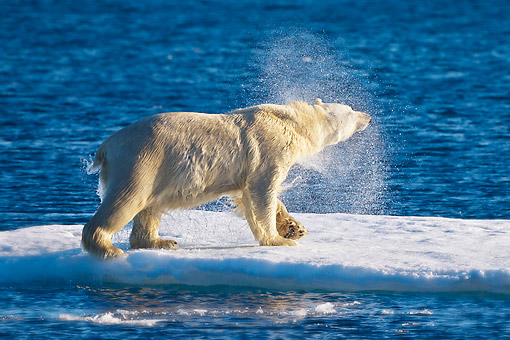 BEA 06 KH0045 01 © Kimball Stock Polar Bear Male Shaking Off Water On Sea Ice Svalbard