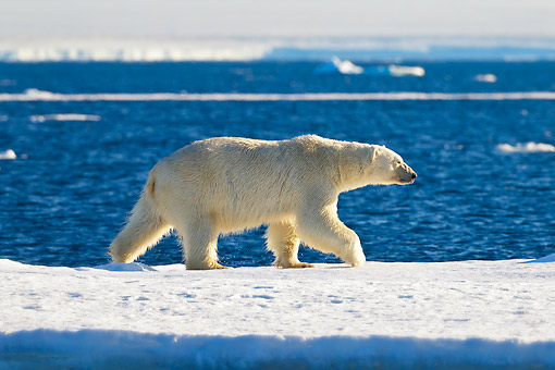 BEA 06 KH0046 01 © Kimball Stock Polar Bear Male Walking On Sea Ice Svalbard