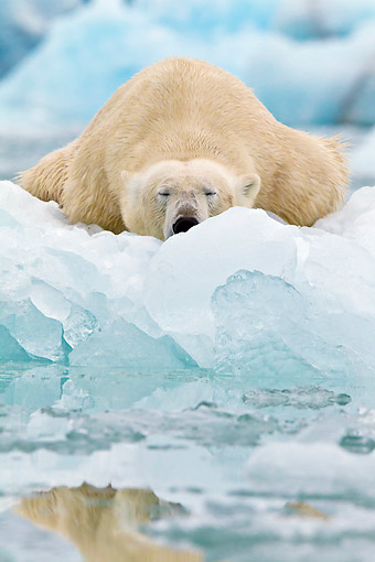 BEA 06 KH0049 01 © Kimball Stock Portrait Of Polar Bear Sleeping On Block Of Ice Svalbard