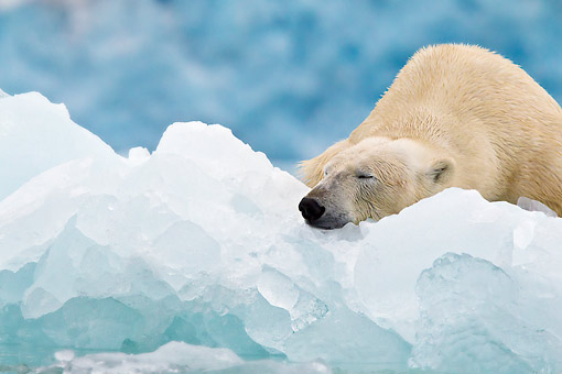 BEA 06 KH0050 01 © Kimball Stock Portrait Of Polar Bear Sleeping On Block Of Ice Svalbard