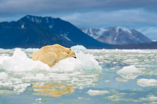BEA 06 KH0051 01 © Kimball Stock Portrait Of Polar Bear Sleeping On Block Of Ice At Midnight Svalbard