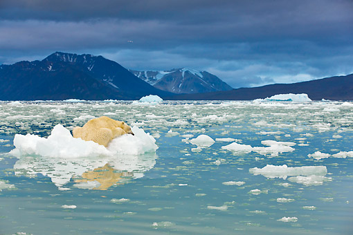 BEA 06 KH0054 01 © Kimball Stock Portrait Of Polar Bear Sleeping On Block Of Ice At Midnight Svalbard