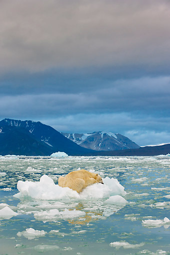 BEA 06 KH0057 01 © Kimball Stock Portrait Of Polar Bear Sleeping On Block Of Ice At Midnight Svalbard