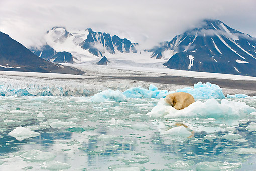BEA 06 KH0058 01 © Kimball Stock Polar Bear Sleeping On Block Of Ice By Glacier Front Svalbard