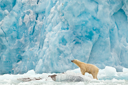 BEA 06 KH0059 01 © Kimball Stock Polar Bear Standing On Block Of Ice By Large Ice Front Svalbard
