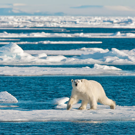 BEA 06 KH0060 01 © Kimball Stock Polar Bear Male Walking On Sea Ice Svalbard