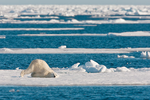 BEA 06 KH0062 01 © Kimball Stock Polar Bear Female Drying Off On Ice After Swimming Svalbard