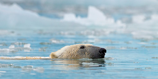 BEA 06 KH0064 01 © Kimball Stock Close-Up Of Polar Bear Swimming In Icy Bay Svalbard