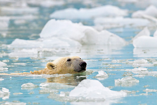 BEA 06 KH0065 01 © Kimball Stock Polar Bear Swimming In Glacial Bay Svalbard