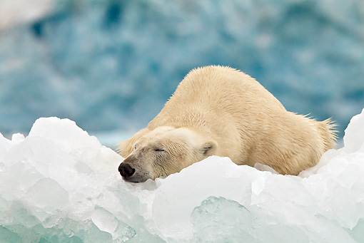 BEA 06 KH0068 01 © Kimball Stock Polar Bear Sleeping On Ice In Front Of Glacier Front Svalbard
