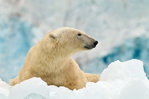BEA 06 KH0069 01 © Kimball Stock Polar Bear Laying On Ice In Front Of Glacier Front Svalbard