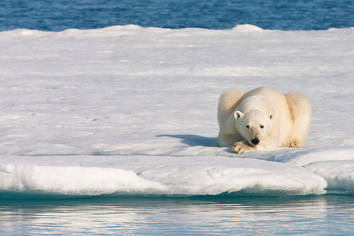 BEA 06 KH0070 01 © Kimball Stock Polar Bear Laying On Sea Ice Svalbard