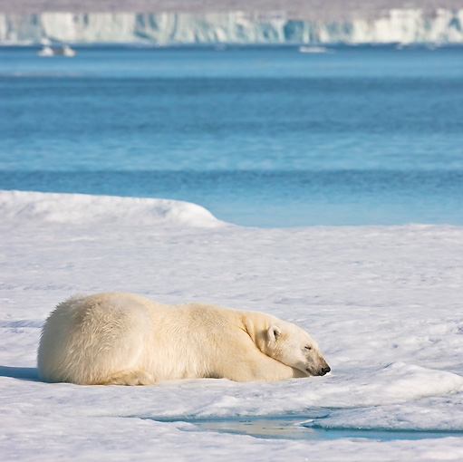 BEA 06 KH0071 01 © Kimball Stock Polar Bear Sleeping On Sea Ice Svalbard