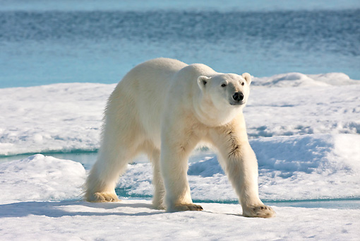 BEA 06 KH0072 01 © Kimball Stock Polar Bear Walking On Sea Ice Svalbard