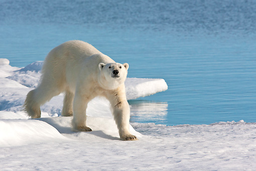 BEA 06 KH0073 01 © Kimball Stock Polar Bear Walking On Sea Ice Svalbard