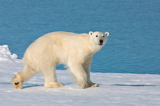 BEA 06 KH0074 01 © Kimball Stock Polar Bear Walking On Sea Ice Svalbard