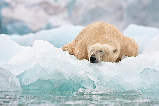 BEA 06 KH0075 01 © Kimball Stock Polar Bear Sleeping On Sea Ice In Front Of Ice Front Svalbard
