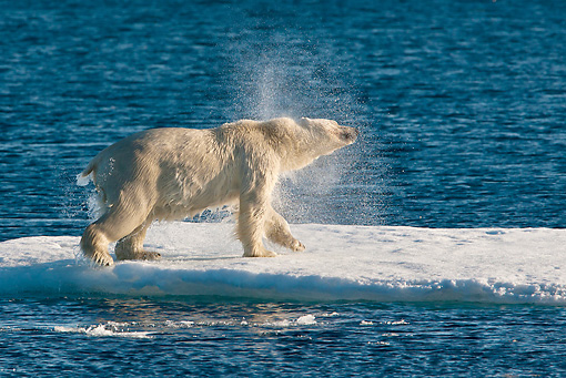 BEA 06 KH0077 01 © Kimball Stock Polar Bear Shaking Off Water On Sea Ice After Swim Svalbard