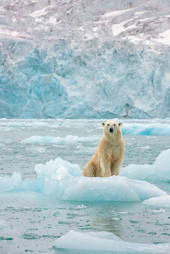 BEA 06 KH0081 01 © Kimball Stock Emaciated Polar Bear Female Sitting On Sea Ice Svalbard