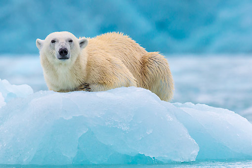 BEA 06 KH0083 01 © Kimball Stock Polar Bear Female Laying On Sea Ice Svalbard