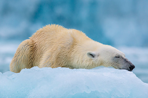 BEA 06 KH0084 01 © Kimball Stock Polar Bear Female Sleeping On Sea Ice Svalbard