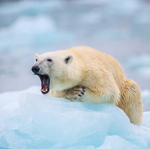 BEA 06 KH0086 01 © Kimball Stock Polar Bear Female Yawning On Sea Ice Svalbard