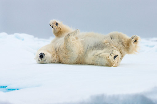 BEA 06 KH0090 01 © Kimball Stock Large Polar Bear Male Rolling On Sea Ice Svalbard