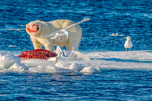 BEA 06 KH0092 01 © Kimball Stock Polar Bear Male On Ice With Freshly Caught Bearded Seal And Glaucous Gulls In Svalbard