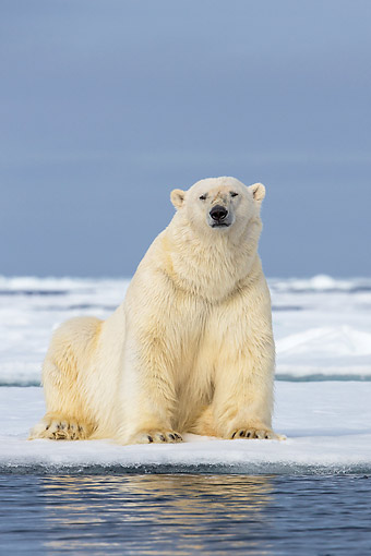 BEA 06 KH0094 01 © Kimball Stock Male Polar Bear Sitting On Pack Ice In Svalbard