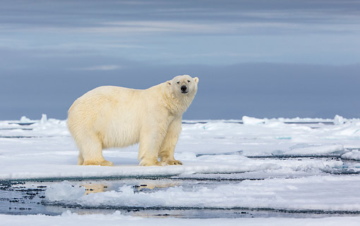 BEA 06 KH0095 01 © Kimball Stock Male Polar Bear Standing On Pack Ice In Svalbard