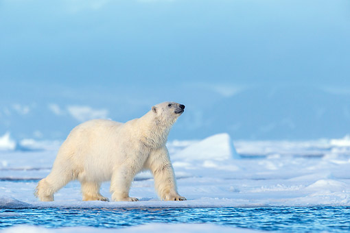 BEA 06 KH0096 01 © Kimball Stock Male Polar Bear Walking On Pack Ice In Svalbard