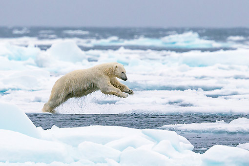 BEA 06 KH0097 01 © Kimball Stock Male Polar Bear Jumping Over Pack Ice In Svalbard
