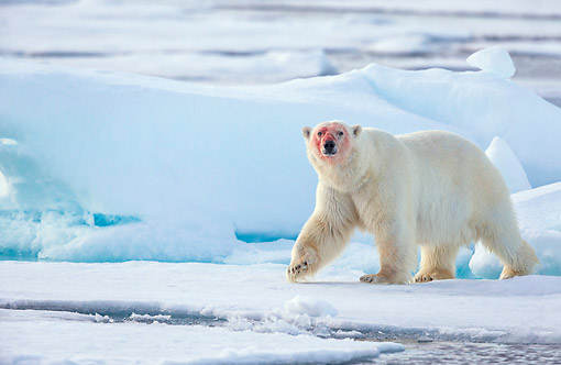 BEA 06 KH0099 01 © Kimball Stock Male Polar Bear Walking On Pack Ice After Feeding In Svalbard
