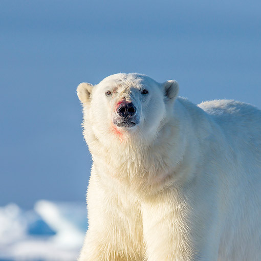 BEA 06 KH0100 01 © Kimball Stock Portrait Of Male Polar Bear After Feeding In Svalbard