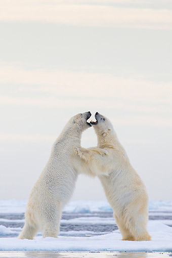BEA 06 KH0102 01 © Kimball Stock Two Polar Bears Play Fighting Upright On Pack Ice In Svalbard