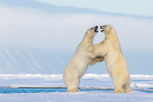 BEA 06 KH0103 01 © Kimball Stock Two Polar Bears Play Fighting Upright On Pack Ice In Svalbard