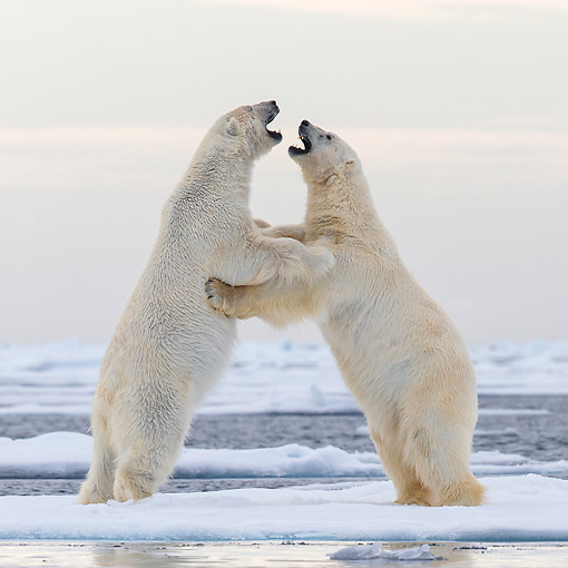 BEA 06 KH0104 01 © Kimball Stock Two Polar Bears Play Fighting Upright On Pack Ice In Svalbard