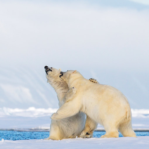 BEA 06 KH0105 01 © Kimball Stock Two Polar Bears Play Fighting On Pack Ice In Svalbard
