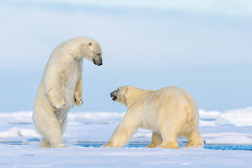 BEA 06 KH0106 01 © Kimball Stock Two Polar Bears Play Fighting On Pack Ice In Svalbard