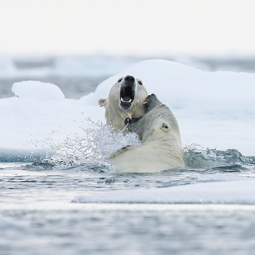 BEA 06 KH0108 01 © Kimball Stock Two Polar Bears Play Fighting In Water In Svalbard