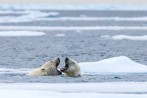 BEA 06 KH0109 01 © Kimball Stock Two Polar Bears Play Fighting In Water In Svalbard